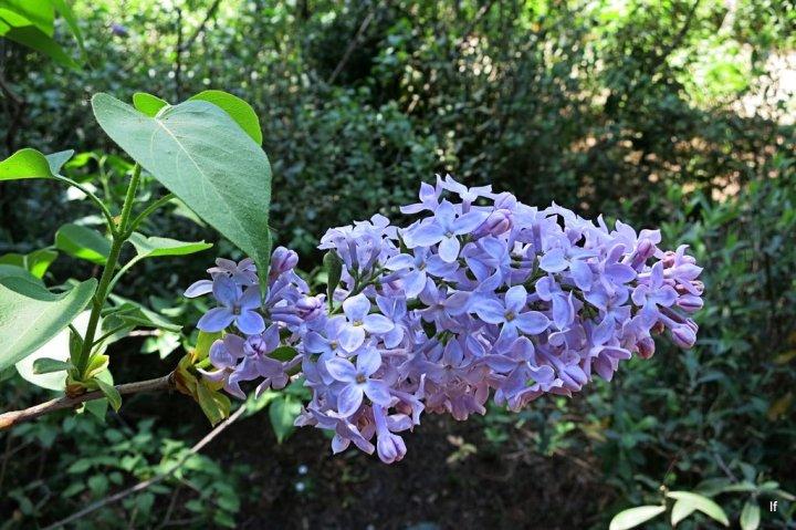 Lila o Syringa vulgaris